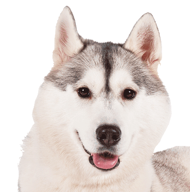 Husky-PNG-Transparent-Background chris-1