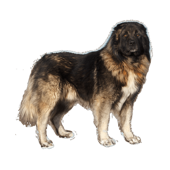caucasian-mountain-dog-3